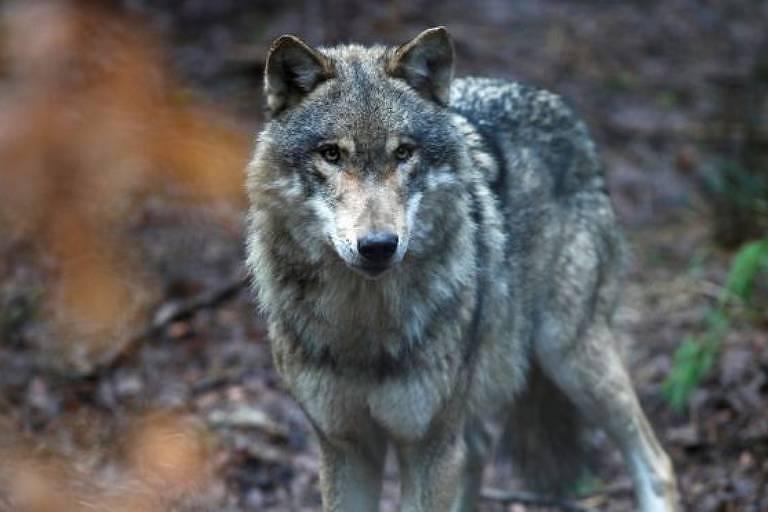 Este lobo foi fotografado em um parque na Alemanha. Mas lobos alemães selvagens atravessaram a fronteira para a Holanda