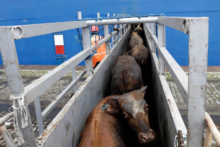 Embarque de gado vivo em navio no porto de Santos com destino à Turquia