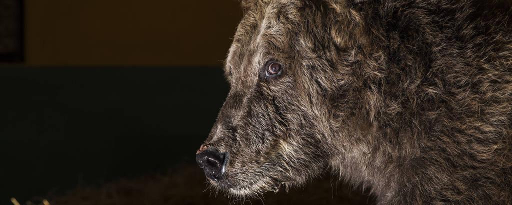 Rowena, a ursa siberiana resgatada de zoológico que ficou conhecida como ursa mais triste do mundo