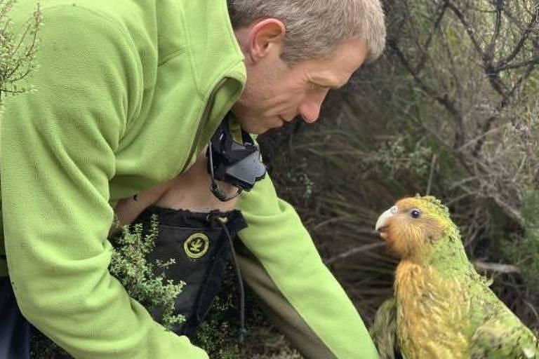 Objetivo é que população de kakapos chegue a 500 espécimes; hoje existem apenas 147 aves adultas