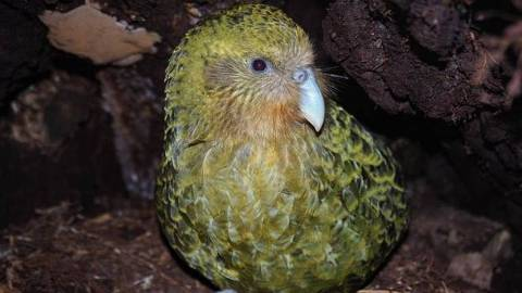 Kakapos chegaram a ser o pássaro mais comum da Nova Zelândia antes da colonização humana, que os deixou praticamente extintos