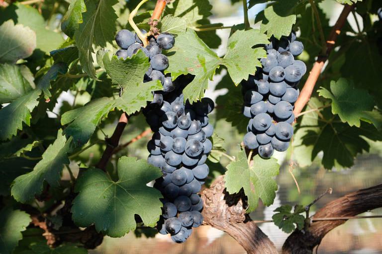 Uvas para a elaboração de vinhos finos no sul de Minas