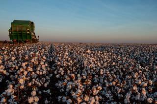 Colheita de safra recorde de algodão em Campo Verde/MT