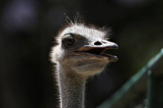 An ostrich is seen at a local zoo in Havana