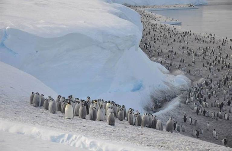 Centenas de pinguins imperadores
