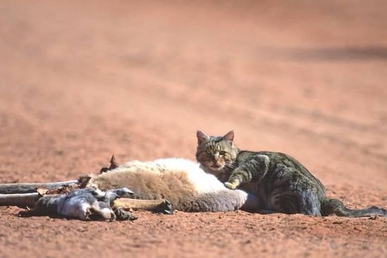 Gatos selvagens são uma ameaça para mais de cem espécies selvagens na Austrália
