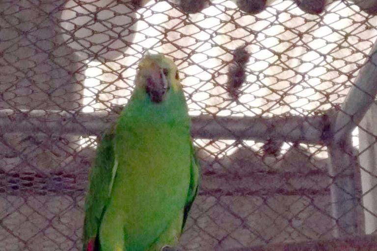 Papagaio com deformação no rosto devido a um tiro recebido