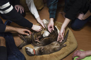 Customers with sleeping otters at an otter cafe in Tokyo