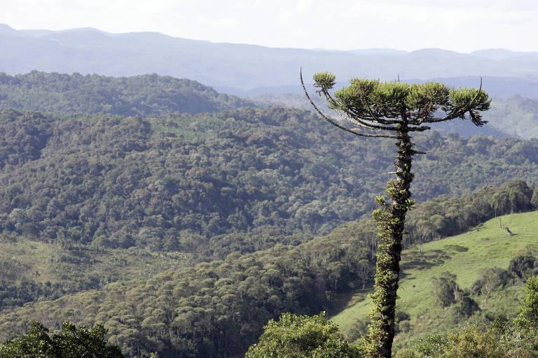 Araucária em primeiro plano; ao fundo há uma floresta
