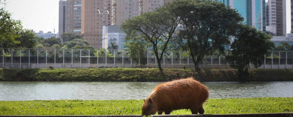 Cerca de 50 capivaras vivem na raia olímpica da USP