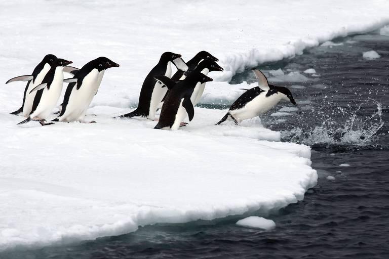 Fezes de pinguins e elefantes-marinhos fomentam biodiversidade na Antártida, diz estudo