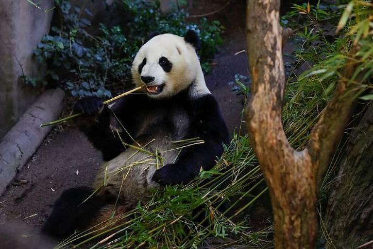 Panda Xiao Liwu volta para o seu país de origem, a China