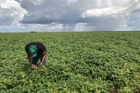 Índio pareci colhe feijão em plantação em terra indígena em Campo Novo do Parecis (MT)
