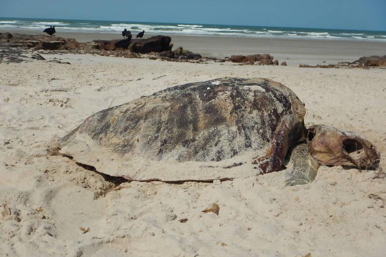 Tartaruga da espécie Lepidochelys olivacea, encontrada morta nos Lençóis Maranhenses, no Maranhão. Cresce o número de tartarugas mortas por ingestão de lixo em um dos principais pontos turísticos no Nordeste.
