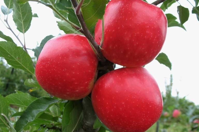 Veja fotos da maçã desenvolvida em SC
