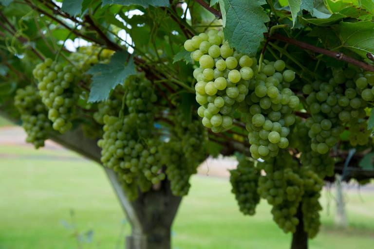 Uvas da Vinícola Góes, em São Roque
