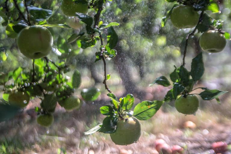 Pomar de maçãs na França, país que produz 1,5 milhão de toneladas por ano da fruta