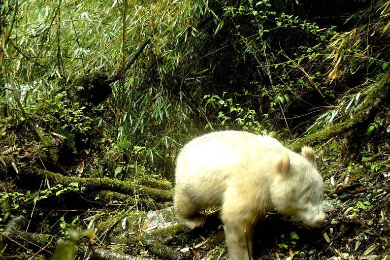 Raro panda totalmente branco é fotografado em reserva chinesa