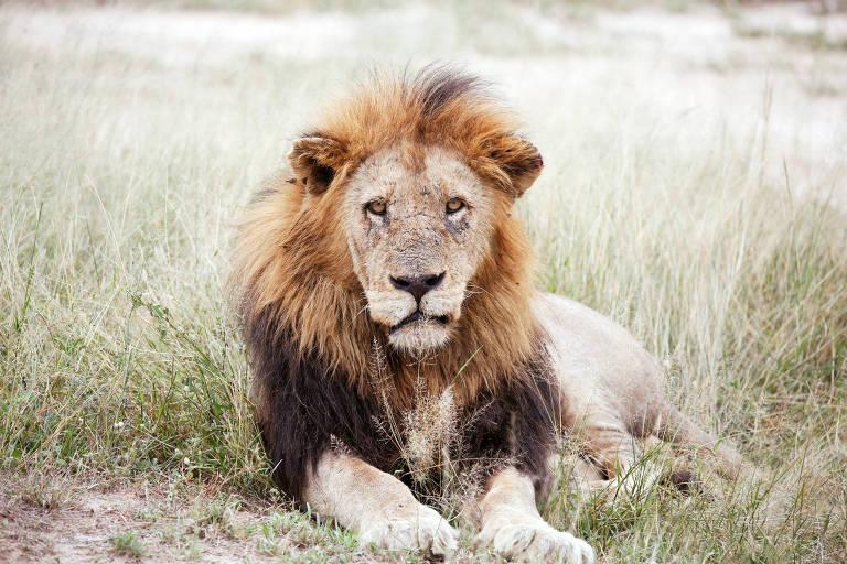 Leão em uma reserva de caça adjacente ao famoso Parque Nacional Kruger, na África do Sul