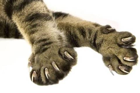 Por que as pessoas retiram as garras dos gatos, prática que começa a ser proibida nos EUA