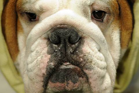 """(FILES) In this file photo taken on February 13, 2012 a Bulldog is in the ring during the 136th Westminster Kennel Club Annual Dog Show held at Madison Square Garden. - Ever wondered how dogs learned to use their """"puppy dog eyes"""" to bend us to their will? Turns out our pet pooches have evolved human-like eyebrow muscles that let them make the sad faces that melt our hearts, according to a new study published on June 17, 2019 in the Proceedings of the National Academy of Sciences (PNAS). It involved dissecting the cadavers of domestic dogs and comparing them to those of wild wolves, our best friends' ancestors whom they branched off from around 33,000 years ago (don't worry, no animals were killed for the research). A separate part of the study saw scientists videotaping two-minute interactions between dogs and a human stranger, then repeating the experiment with wolves, to closely track how much they used a specific muscle around the eye that produced an inner eyebrow raise. (Photo by Timothy A. CLARY / AFP) ORG XMIT: TC046"""