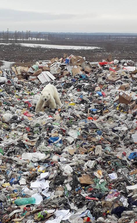 Urso polar faminto é visto revirando lixo na Rússia
