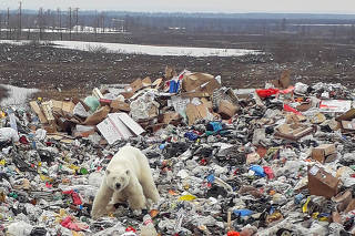 A stray polar bear is seen on a garbage dump at the industrial city of Norilsk