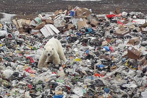 A stray polar bear is seen on a garbage dump at the industrial city of Norilsk, Russia June 18, 2019.  REUTERS/Yuri Chvanov NO RESALES. NO ARCHIVES. ORG XMIT: NOR01