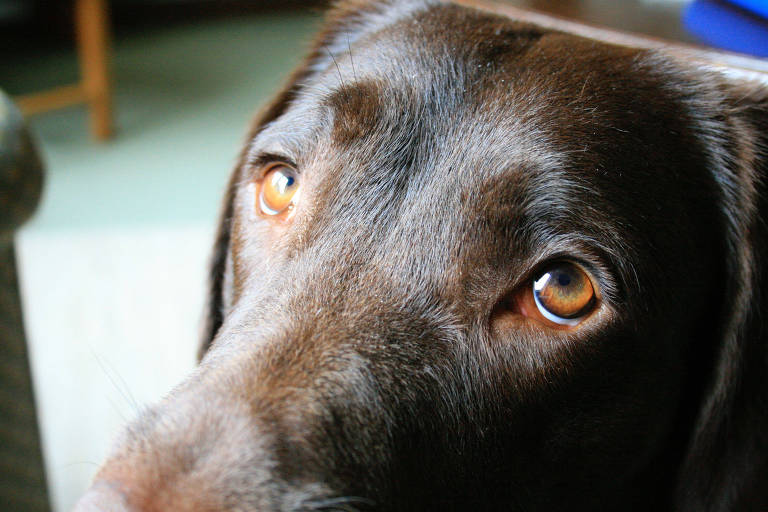 """An adult dog named Baska raises her inner eyebrows, making what people think of as """"puppy-dog eyes."""" MUST CREDIT: Courtesy of the University of Portsmouth"""