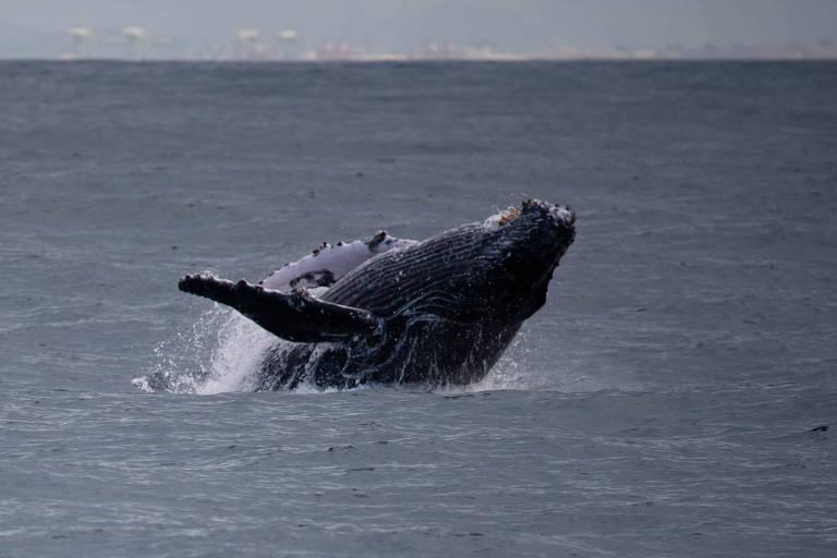 Duas baleias jubarte foram flagradas enquanto nadavam a poucos metros de duas balsas que fazem a travessia entre Ilhabela e São Sebastião, na tarde de sábado (23)