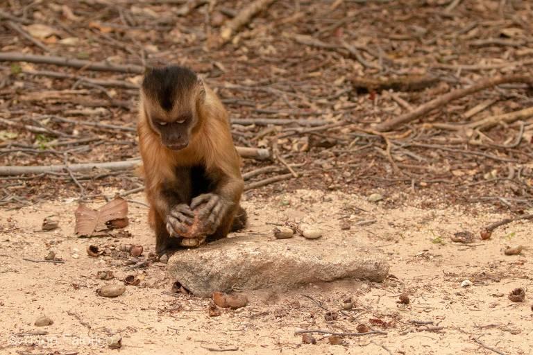 Macacos-prego no Piauí usame ferramentas para quebrar castanhas e sementes há pelo menos 3.000 anos e adaptaram sua técnica a diferentes alimentos ao longo do tempo, diz novo estudo na revista científica Nature Ecology and Evolution