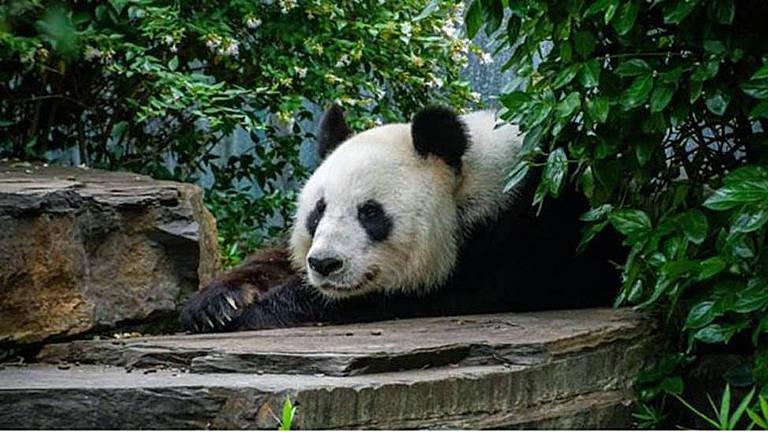 Prática conhecida como 'diplomacia dos pandas' vai muito além da conservação da espécie