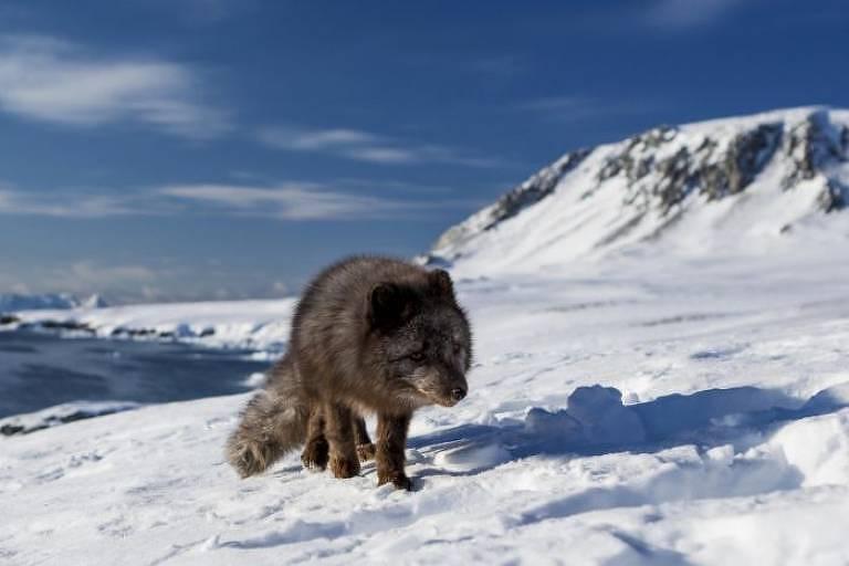 A raposa andou em uma média de 46 km por dia