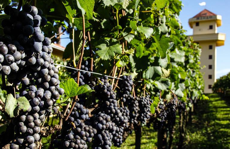Tataraneto de Louis Vuitton lança vinho no Brasil