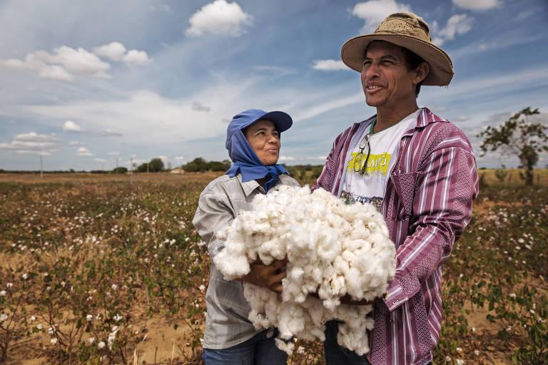José Alves de Souza (Zé Brasil) e Azeli Antunes de Souza  colhem algodão em área beneficiada pelo projeto Tecendo Valor, em Catuti (MG)