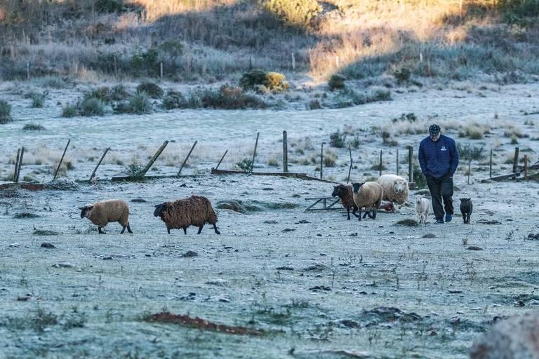 Geada cobre campos e pastos de Passo Fundo (RS); na imagem, homem anda ao lado de ovelhas sobre campo branco após geada