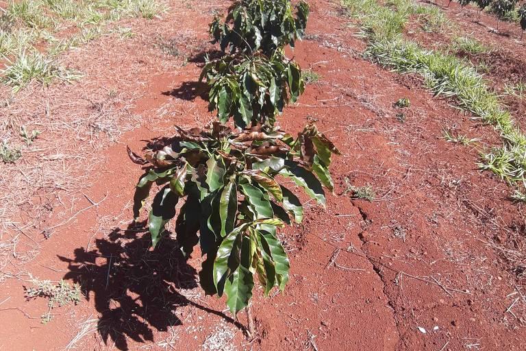 Plantação de café atingida por geada em SP?