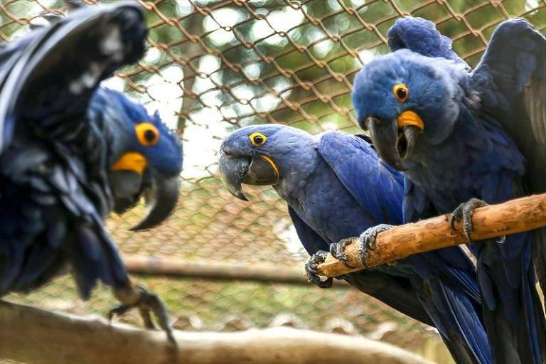Filhote de arara-azul, à esq., brinca com os pais em zoológico de Curitiba