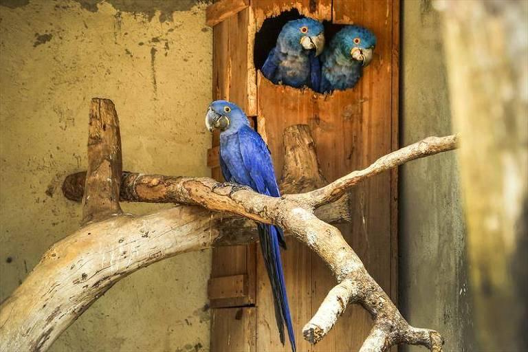 Filhote de arara-azul e os pais, ao fundo, em zoológico de Curitiba