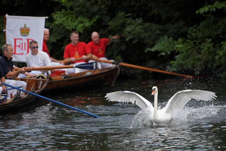 Autoridades fazem censo anual dos cisnes da rainha Elizabeth 2ª