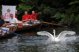 Officials record and examine cygnets and swans during the annual census of the Queen's swans, known as 'Swan Upping', along the River Thames near London