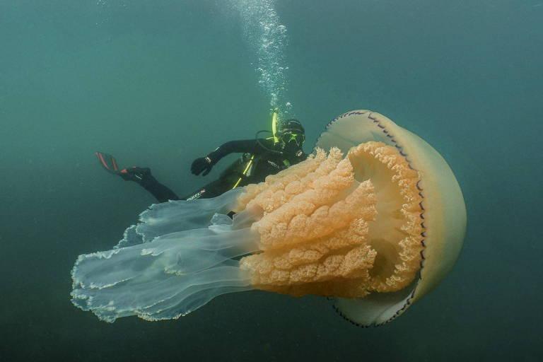 Na foto a bióloga Lizzie Daly nada ao lado de uma água-viva-barril gigante