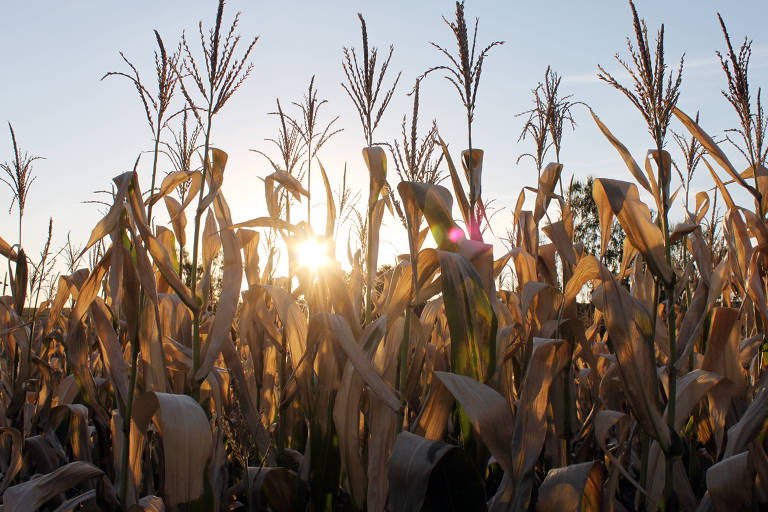 Lavoura de milho no norte do Paraná