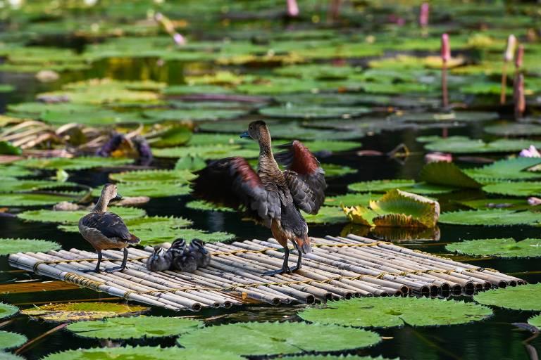 Quatro patos pousam em uma janagada de bambu cercada de vegetação de lagoa