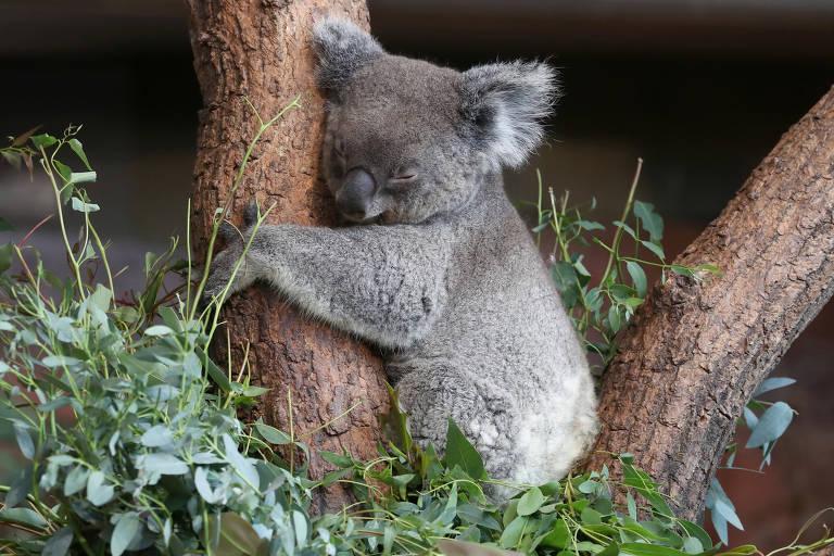 Coala fêmea chamada Maisy dorme agarrada a árvore