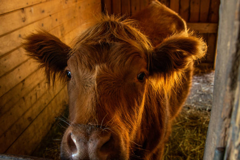 Vacas terapêuticas em fazenda no estado de Nova York