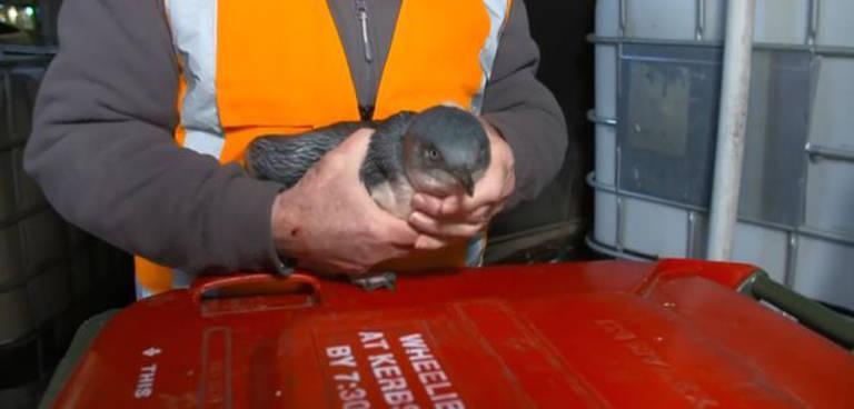 Dois pinguins azuis foram capturados pela polícia na Nova Zelândia após terem invadido um restaurante japonês