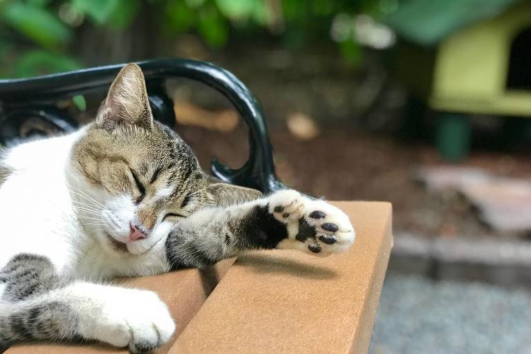 A gatinha Etta James, com seis dedinhos, descansa no jardim da casa de Hemingway em Key West, na Flórida