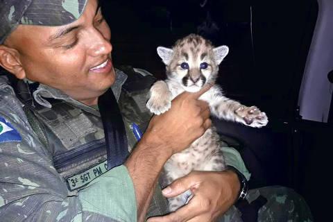 Policiais do Batalhão de Proteção Ambiental resgataram em Jaciara (144 km de Cuiabá), um filho de onça parda que estava perdido em uma área de lavoura. O resgate do filhote de onça parda ocorreu na quarta-feira (17) - Foto: PM-MT
