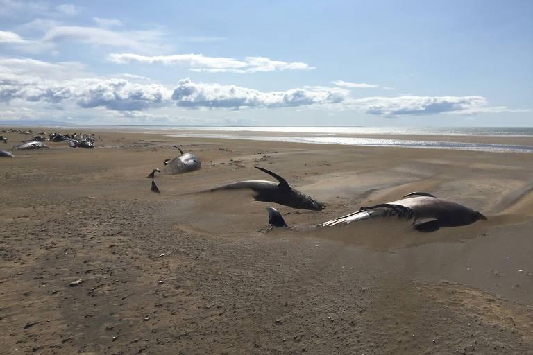 Baleias são encontradas mortas em praia